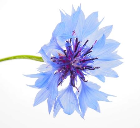 centaurea: cornflowers on a white background