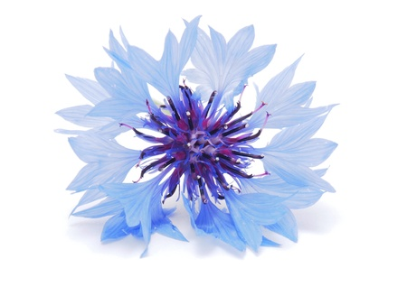 cornflowers on a white background