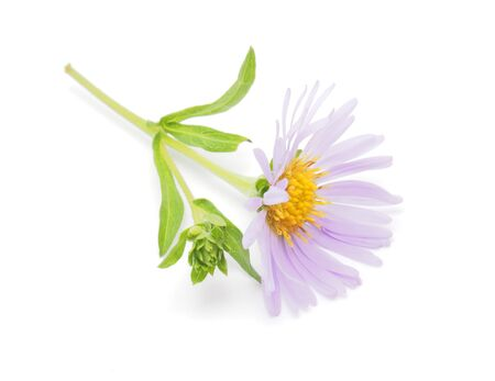 perennial aster on a white background photo