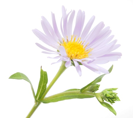 big flower: perennial aster on a white background