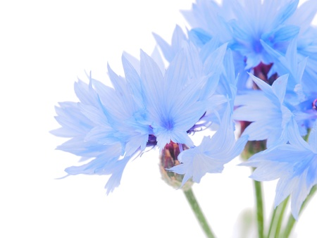 cornflowers on a white background photo