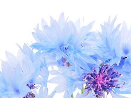 cornflowers on a white background Stock Photo - 14805232