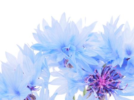 garden cornflowers: cornflowers on a white background