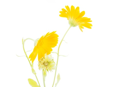 Calendula flower on a white background photo