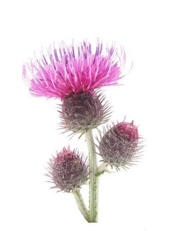 burdock (Arctium lappa) on white background photo