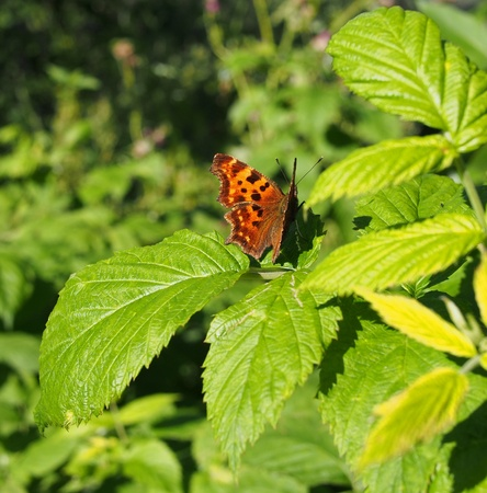 pokrzywka: butterfly wysypka