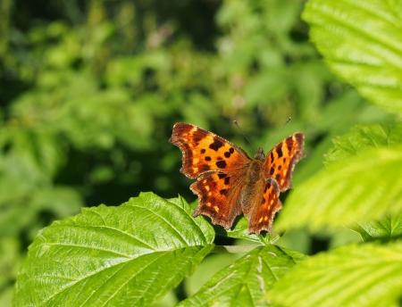 pokrzywka: wysypka motyl Zdjęcie Seryjne