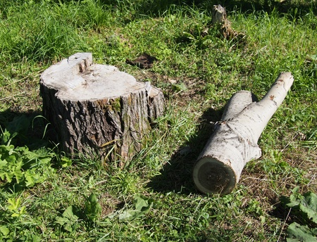 Freshly sawed big fir tree stump in spring forest photo