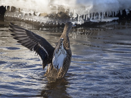duck flaps its wings photo