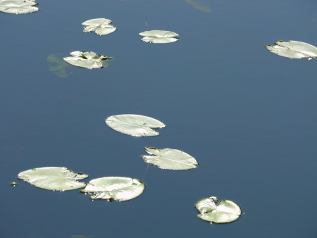 Potbelly leaves on the water photo