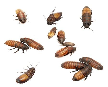 madagascar hissing cockroach: Madagascar cockroaches isolation on a white background