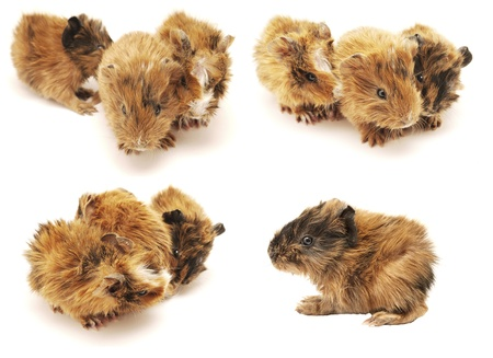 Baby guinea pig on a white background. Set  photo