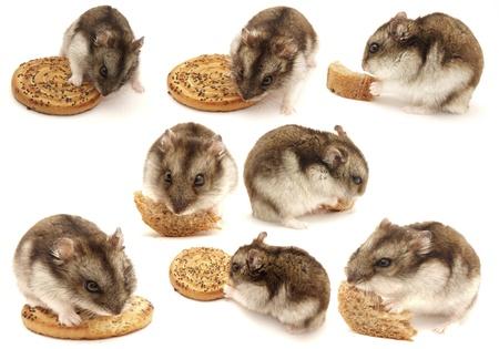 hamsters: Hamsters. Set