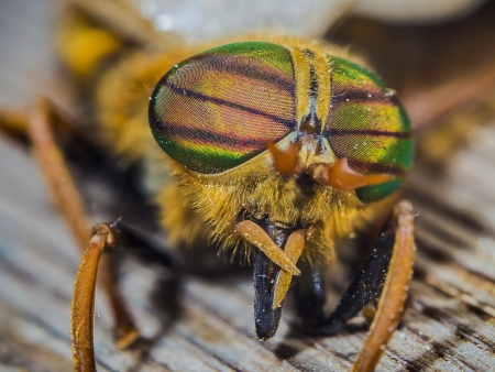 compound eyes: eyes gadfly