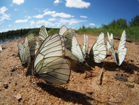 Black-veined White butterflies Stock Photo - 20405725