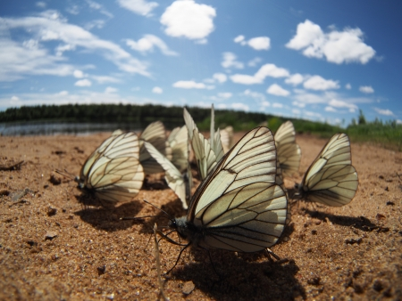 Black-veined White butterflies Stock Photo - 20405717