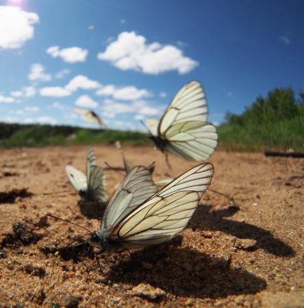 Black-veined White butterflies Stock Photo - 20405708