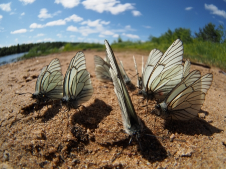 Black-veined White butterflies Stock Photo - 20405721