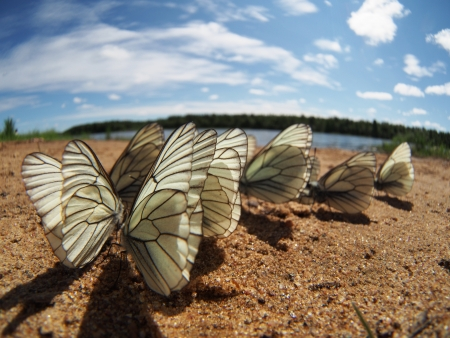 Black-veined White butterflies Stock Photo - 20405720