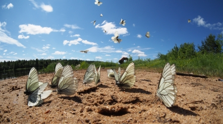 Black-veined White butterflies Stock Photo - 20405709