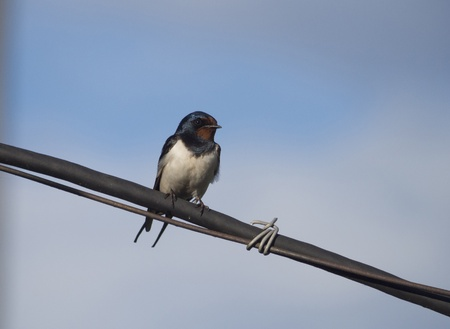 songster: Swallow on a wire