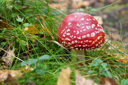 gilled: fly agaric in the forest