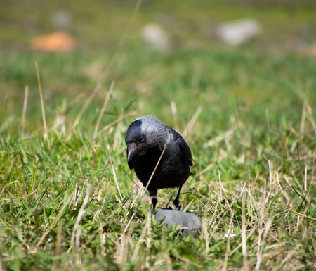 crow on the grass photo