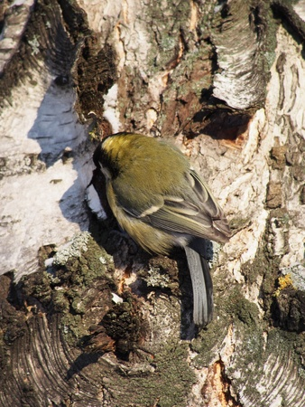 titmouse: titmouse on a birch