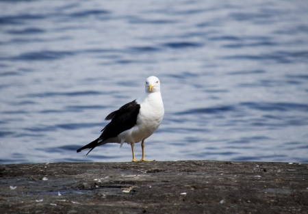 Seagull in the water photo