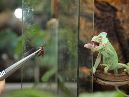 latent: Green chameleon  Stock Photo