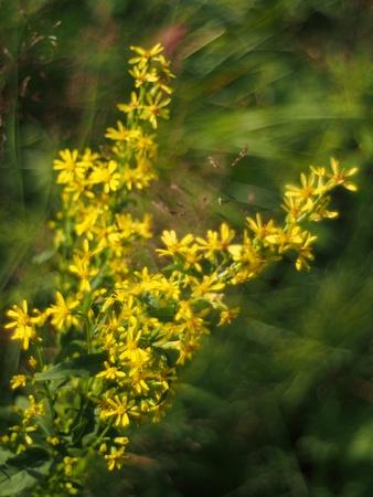 goldenrod: goldenrod