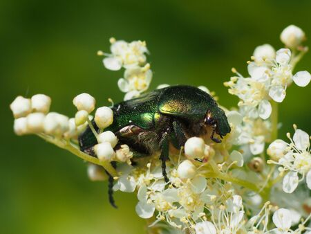 Chafer beetle on a flower photo