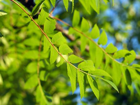 fascicle: The leaves of mountain ash Stock Photo
