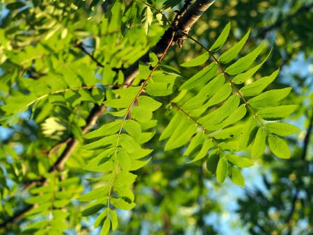 ash tree: The leaves of mountain ash Stock Photo