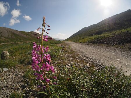 fireweed: fireweed flower in the mountains Stock Photo