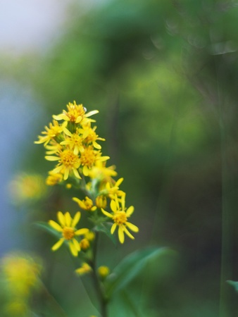Goldenrod in the mountains
