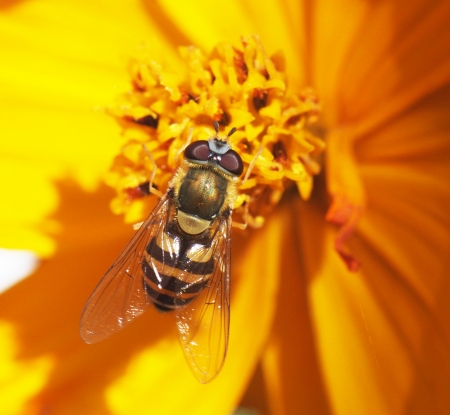 fly hoverfly on a flower Stock Photo - 22242053