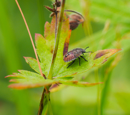 pentatomidae: Forest bug on a flower