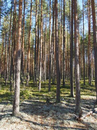 free image: pinewood