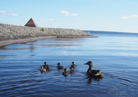 duck with ducklings on the lake photo