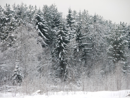 edge of the ice: winter forest