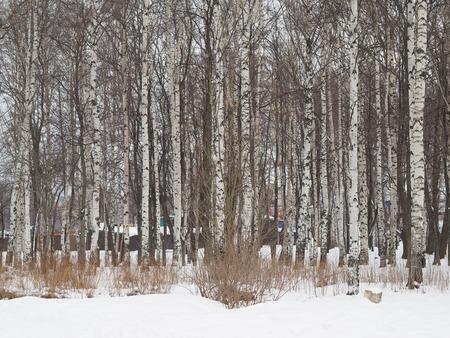 Birch forest in winter photo