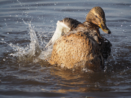 palmiped: duck swims in the lake Stock Photo