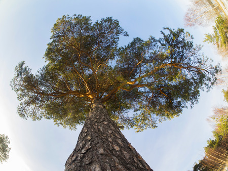 pine crown