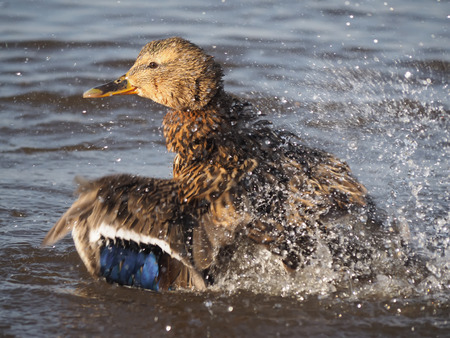 chasing tail: duck swims in the lake Stock Photo