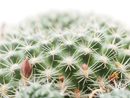 microdasys: cactus on a white background Stock Photo