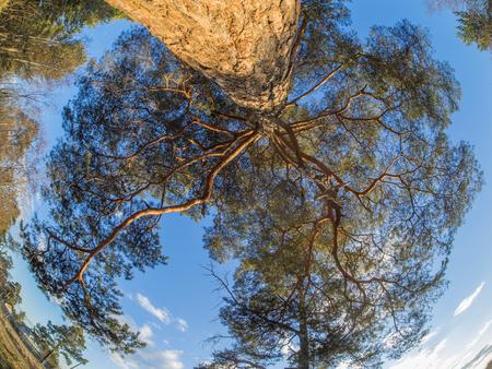 pct: pine crown
