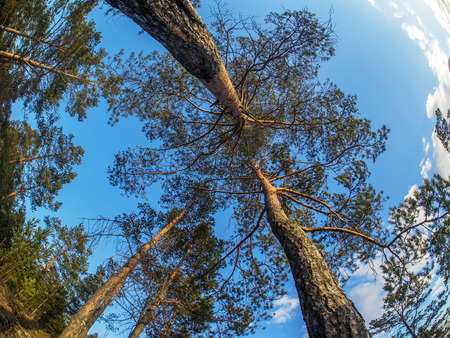pine crown photo