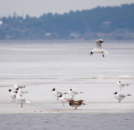 Mandarin duck with birds on the lake photo