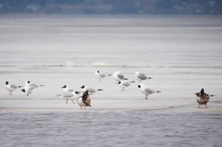 mandarina: Mandarin duck with birds on the lake Stock Photo